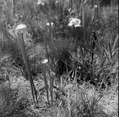 10480009 (kccornell) Tags: hasselblad 500c film cooter bog louisiana kisatchis national forest pitcher plant carnivorous