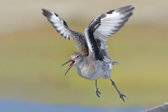 Spooked! (bmse) Tags: willet takeoff bolsachica spooked canon 7d2 400mm f56 l bmse salah baazizi wingsinmotion
