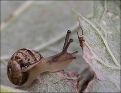 Garden snail (kimbenson45) Tags: animal brown closeup differentialfocus garden green leaf leaves macro mollusc nature outdoors plant reaching shallowdepthoffield shell snail white wildlife
