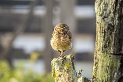 Burrowing Owl - Coruja Buraqueira (sostenesmonteiro) Tags: burrowing owl coruja buraqueira bird birds passaro passaros ave aves prey preys sostenesmonteiro totecmt nikon nature natureza