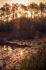 Lily Pond (PositiveAboutNegatives) Tags: leica leitz leicaflex sl leicaflexsl leicar film analog kodak gold100 fortmccoy florida elmarit 35mmelmarit