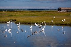Snowy Egrets, Great Egrets, Gulls (artseejodee) Tags: grass flock sunny grassy midatlantic nature migration newjersey snowyegret fall sound capemaycounty wildlife twomile gulls egrets white migrate capemaybridge naturallight biology birds migratorybirds outdoors canon jerseyshore snowyegrets saltmarshes herons capemay blue great wetlands southjersey feather nj northeast autumn shorebirds green saltwater september marsh wildwoodcrest oceandrive wildwoodcrst wildwood lower township lowertownship orange brown animals bird seagulls heron egret twomilelanding