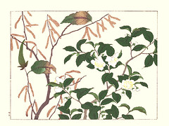 Siberian hazel and China tea (Japanese Flower and Bird Art) Tags: flower siberian hazel corylus heterophylla betulaceae china tea thea sinensis theaceae hoitsu sakai kiitsu suzuki kimei nakano nihonga woodblock picture book japan japanese art readercollection