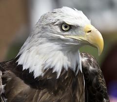 bald eagle - Eagle Pines Falconry - Wild Birds Unlimited (watts_photos) Tags: bald eagle pines falconry wild birds unlimited bird raptor eagles animal rescue rehabilitation rehab beak canon eaglepines