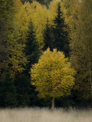 Yellow tree (dovlindphoto) Tags: trees nature wood forest woodlands fall autumn landscape leaves sweden dalsland dovlind dovlindphoto pentax k3 moody colors