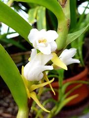 Mycaranthes vanoverberghii 2 (heinvanwinkel) Tags: 2012 asparagales bloemvandedag epidendroideae euphyllophyta hortus juni leiden liliopsida magnoliophyta mesangiospermae mycaranthesvanoverberghii nederland orchidaceae podochileae spermatophyta tracheophyta