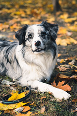 A Border Collie dog outdoors in the autumn park. (Blackcatstudio) Tags: dog mammal pet purebred canine animal bordercollie frontview tongue vertebrate domesticanimal vertical oneanimal mouthopen black animalthemes nopeople pets boundary huntingdog friendship impediment sportsandfitness competition cute animaltricks obedience leaves retriever purebreddog happiness crimp playful cheerful nature outdoor lying autumn yellow fallenleaves park piebaldcolor