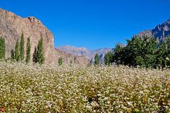 Turtuk (Yeoboya) Tags: turtuk nubra valley ladakh kashmir india flowers apricot