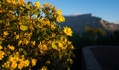 Floral Cape Town (SMSidat) Tags: capetown westerncape southafrica za flowers yellow signalhill mountain tablemountain