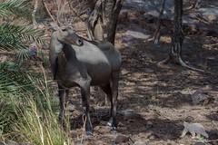 Nilgai Antelope (fascinationwildlife) Tags: animal mammal nilgai antelope endemic wild wildlife nature natur asia india forest bush summer ranthambhore national park nilgau