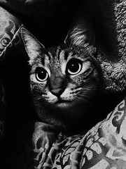 Leyla (kerstinlange1) Tags: iloveanimals animals cats family blackandwhite animalphotography animalhead domesticanimal closeup blackandwhitephotography pets