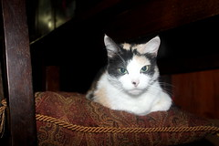Kali Madison photo of the day 10/12/2016 (Patches Madison) Tags: cat kali madison cute sweet adorable  calico