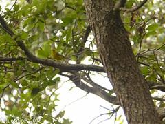 Blue-winged Warbler (Cajunspice) Tags: egef md