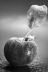 One Bad Apple (WilliamND4) Tags: apple fruit blackandwhite nikond810 tokina100mmf28atxprod nikon monochrome leaf wet