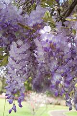 en fleurs (Val in Sydney) Tags: glycine wisteria flower fleur parramatta nsw australia australie