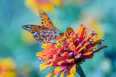Gulf Fritillary Butterfly ( David Gunter) Tags: gulf fritillary butterfly gulffritillary insect outdoor nature natural zinnia flower