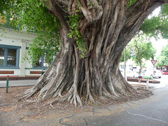 Ficus Virens (YAZMDG (16,000 images)) Tags: ficusvirens moraceae tree roots graftoncity northernrivers