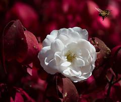 Flying away (nzosimova) Tags: white flower whiteflower burgundybackground flying bee autumn