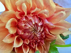 iPhone 6s photography: petals of a dahlia (uncropped photo) (norlandcruz74) Tags: macro closeup apple 6s iphone filam filipino pinoy cruz norland flora 2016 october flower flowers dahlia petals