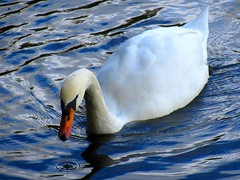 Swan Santry Woods 17-10-2016 003 (gallftree008) Tags: swans santry woods dublin ireland 17102016 codublin county irish irishwildlife water nature naturesbeauties naturescreations amazingnature lake bird birds avian aqua wildlife lifebouy dub