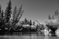 Triple Branched Spruce on the Nordenskiold River (MIKOFOX  Show Your EXIF!) Tags: river willows canada nordenskioldriver yukon fall water fujifilmxt1 spruce monochrome landscape xt1 bw blackandwhite showyourexif mikofox september xf18135mmf3556rlmoiswr