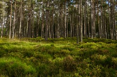 The woods (poach01) Tags: dappled patches subtle light trees forest woods