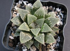 Haworthia 'Window Light', ex Japan (ex S.T.C./Netherland 80982, 10.10.2014) (igormilekhin) Tags: plant succulent haworthia indoor leaf pattern windowlight japan stc cultivar