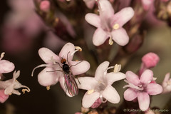 Tiny fly with red eyes (kasia-aus) Tags: 2016 aland finland bug europe flowers fly insect macro nature redeyes tiny travel trip wildlife