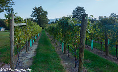 Down the Grape Vines (mjdrhd) Tags: winery grapes green color rural nature