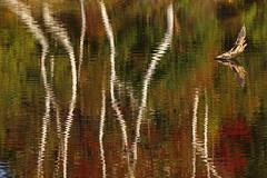 Reflections (Teruhide Tomori) Tags: chbusangakunationalpark texture nature reflection water forest tree maimepond norikura japan nagano landscape autumn