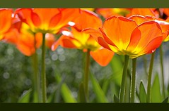 """Orange"" (Petra U.) Tags: flowers light orange outside spring nikon tulips bokeh blumen afterwork april karlsruhe frühling tulpen fineweather drausen flickrchallengegroup flickrchallengewinner imlicht feierabendspaziergang heutekeingrau"