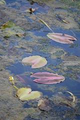 Pink water lily pads float on the wetland's surface (jungle mama) Tags: waterlilies marsh waterplants wetland spatterdock wakodahatcheewetlandsdelraybeachfl greencayboyntonbeachfl