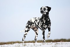 Angespannt (blumenbiene) Tags: schnee dog snow female hund dalmatian dalmatiner hündin dalmatinac