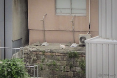 Today's Cat@2013-05-02 (masatsu) Tags: cat canon catspotting thebiggestgroupwithonlycats powershots95