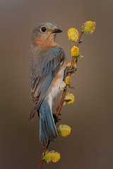 Eastern bluebird, female (Phiddy1) Tags: ngc npc avianexcellence naturesharmony magicunicornverybest magicunicornmasterpiece