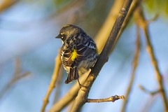 Yellow-rumped warbler (Henry McLin) Tags: bird birds pennsylvania hanover warbler yellowrumpedwarbler codorusstatepark