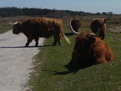 Heck cattle (Alta alatis patent) Tags: netherlands vlieland highlander scottish waddenislands heckrunderen