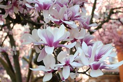 Magnolia Blossoms! Spring 2013 (marylea) Tags: pink flowers beauty spring catholic michigan blossoms annarbor magnolia catholicchurch blooms magnolias may3 2013 stthomasaa stthomastheapostlechurch
