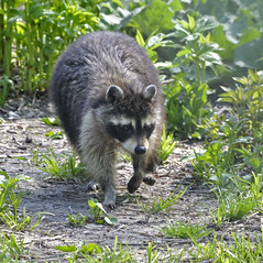 Raccoon (KristinChicago) Tags: raccoon
