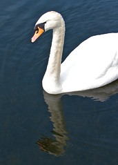 Swan (paulgmccabe) Tags: reflection bird london nature swan wildlife reserve waterbird wetlands barnes protected londonwetlandcentre wetlandcentre