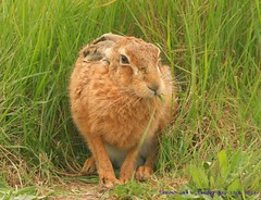 Hare today, Gone Tomorrow........ (law_keven) Tags: animals mammal island march suffolk furry hare furryfriday mammals orford hares brownhare lepuseuropaeus havergateisland havergate europeanhares madharesmarch haremad