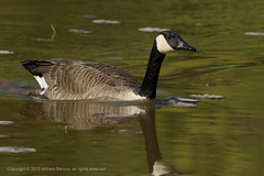 Canada Goose (Bill-S2001) Tags: ontario canada bird birds animal animals geese wildlife aves goose marsh waterfowl creatures creature canadagoose brantacanadensis oakville bronte zoology f7 iso500 avain cago kenko14tc undomesticatedanimals nikond800 ev159 speed11250 af300mmf28 shotat420mm expcomp00 ffequiv420mm b201305002