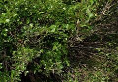 Gossia fragrantissima (dustaway) Tags: plants nature leaves habit australia foliage nsw endangered twigs branching myrtaceae northernrivers arfp richmondvalley sweetmyrtle australianrainforestplants gossia gossiafragrantissima nswrfp qrfp riparianarf subtropicalarf dryarf richmondriverfloodplains