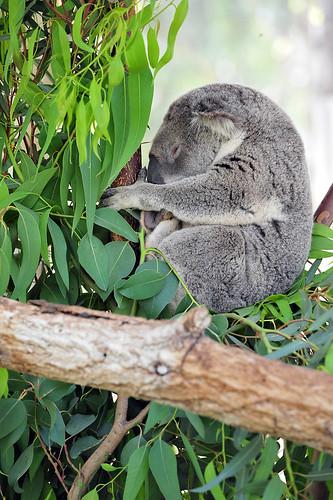 Kangaroo Park(np1i)