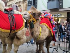 Eyeing me up (pefkosmad) Tags: christmas street animal animals streetscene gloucestershire camel gloucester camels citycentre bactrian hump threekings christmasiscoming eastgatestreet onehump shipofthedesert christmaslanternprocession