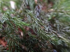 Pyrrhobryum spiniforme (Hedw.) Mitt. - Musgos, Rhizogoniaceae (penati.rodrigo) Tags: pyrrhobryum pyrrhobryumspiniforme musgo rhizogoniaceae cotia morrogrande caucaiadoalto mataatlantica