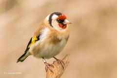 Goldfinch 710_8969.jpg (Mobile Lynn) Tags: birds wild goldfinch finch nature blashford england unitedkingdom gb coth ngc npc