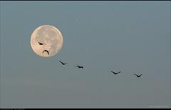 Over the moon... (Peterbijkerk.eu Photography) Tags: zonsopkomst fog mist peterbijkerkeu sunrise schermerhorn noordholland nederland nl vogels maan moon birds crossingthemoon