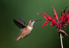 Rufous Hummingbird and Bee Balm (Martin Dollenkamp) Tags: vancouverisland penstemon hummingbird rufous rufoushummingbird selasphorusrufus