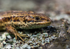 Common Lizard (Peter Quinn1) Tags: commonlizard viviparouslizard hathersagemoor derbyshirepeak district moorland lichen basking reptile lizard